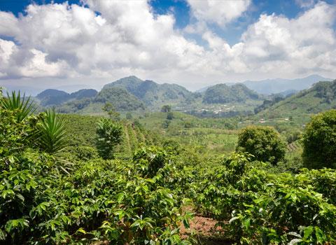piantagioni del caffè