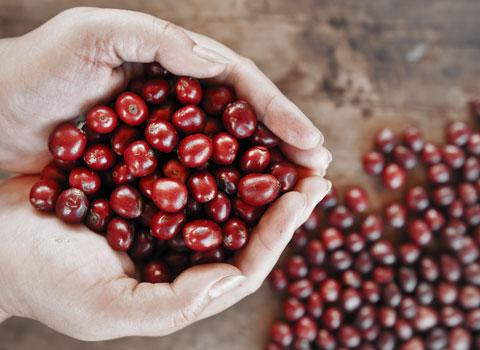 Drupe, frutti della pianta del caffè
