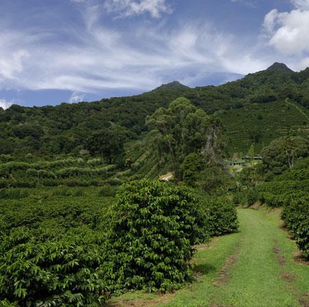Chicchi di caffè monorigine di Panama