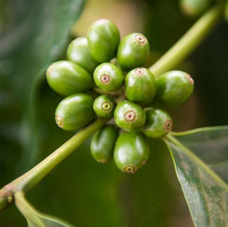 Chicchi di caffè monorigine della Tanzania
