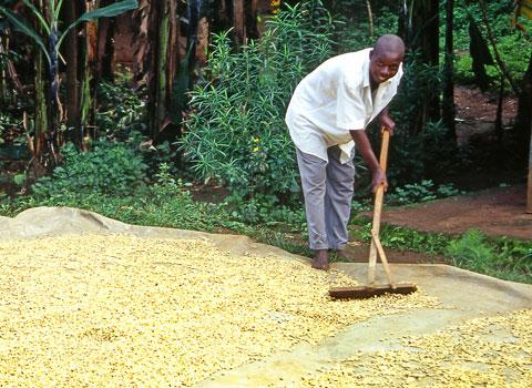 coltivazione caffè dal popolo etiope