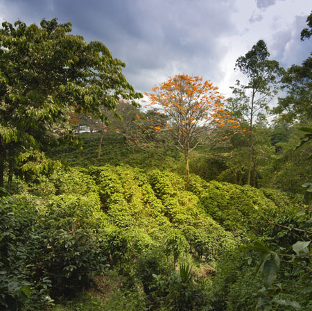 Chicchi di caffè monorigine del Costa Rica
