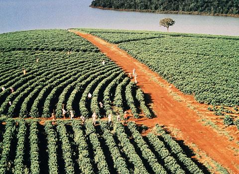 coltivazione caffè